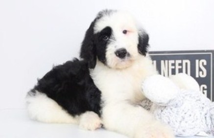 Adult Sheepadoodle for Sale Near Me 1