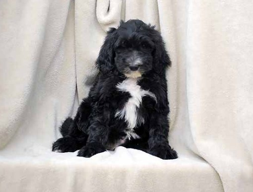 Adult Sheepadoodle for Sale Near Me 2