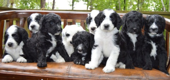 Adult Sheepadoodle for Sale Near Me 3