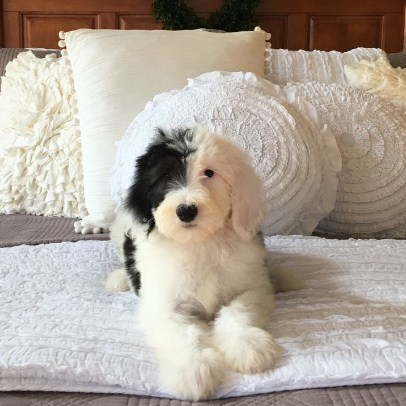 Best Sheepadoodle Puppy Cut 1