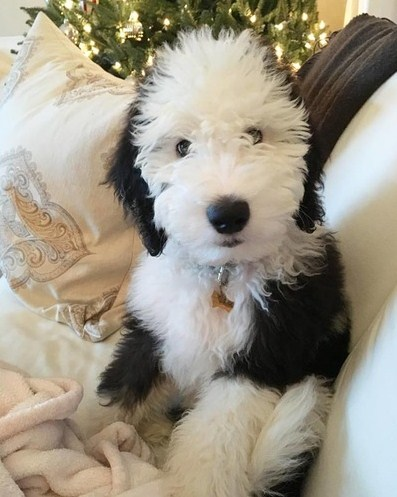 Best Sheepadoodle Puppy Cut 2