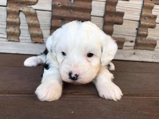 Mini Sheepadoodle Puppies for Sale 1