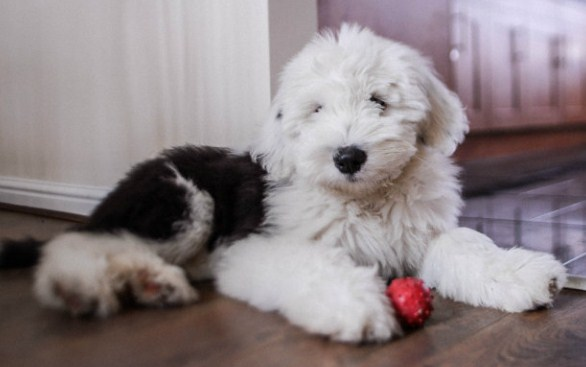 Mini Sheepadoodle Puppies for Sale 2