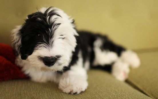 Mini Sheepadoodle Puppies for Sale 3