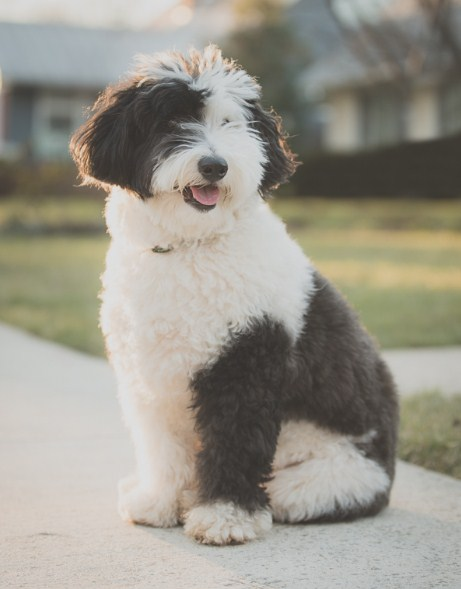 Sheepadoodle California 2