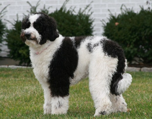Sheepadoodle Colorado 1