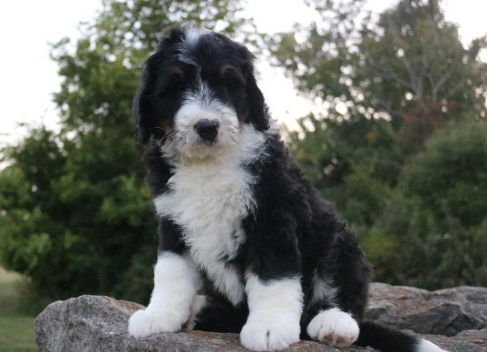 Sheepadoodle Colorado 2