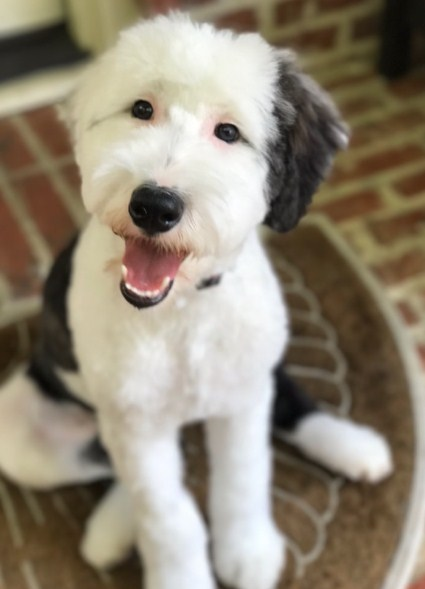 Sheepadoodle Colorado 3