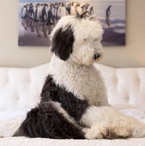 Sheepadoodle Images Pictures 1