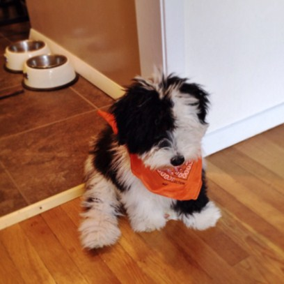 Sheepadoodle Images Pictures 2