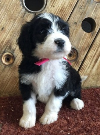 Sheepadoodle Images Pictures 3