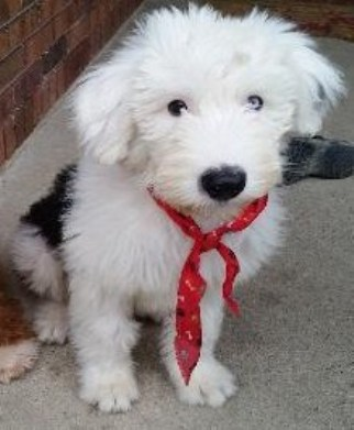Sheepadoodle Michigan 2
