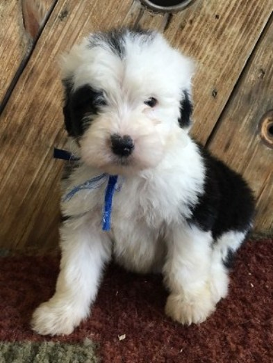 Sheepadoodle Michigan 3