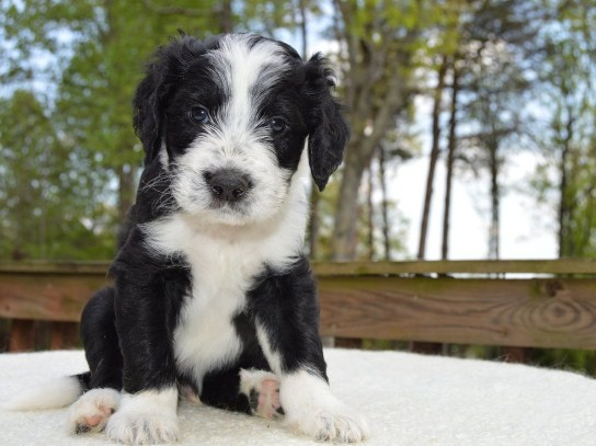 Sheepadoodle Prices 1