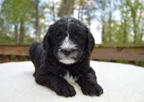 Sheepadoodle Prices 2