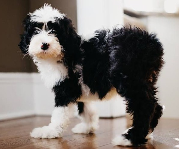 Sheepadoodle Puppies 1