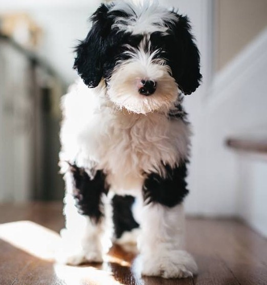 Sheepadoodle Puppies 3