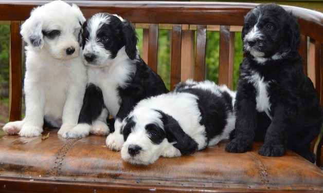 Sheepadoodle Puppies 2