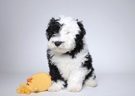 Sheepadoodle Puppies for Sale 1