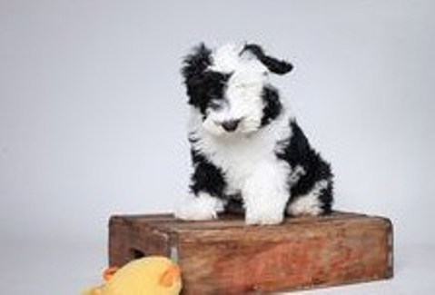 Sheepadoodle Puppies for Sale 2