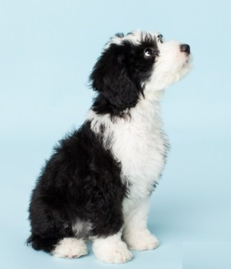 Sheepadoodle Puppies for Sale 3