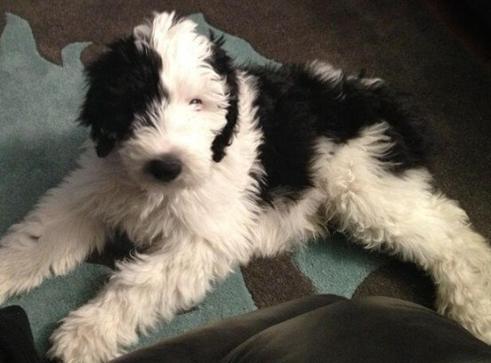 Sheepadoodle Temperament 1
