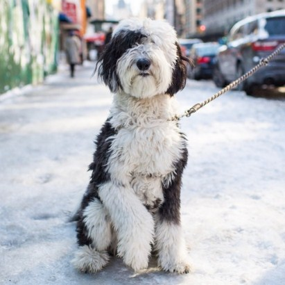 Sheepadoodle UK (United Kingdom) 1
