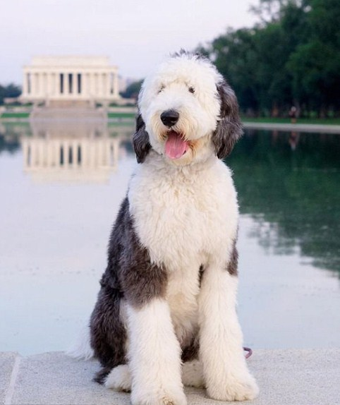 Sheepadoodle UK (United Kingdom) 3