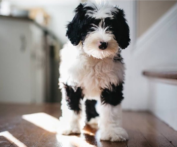Buy Sheepadoodle Puppy 1