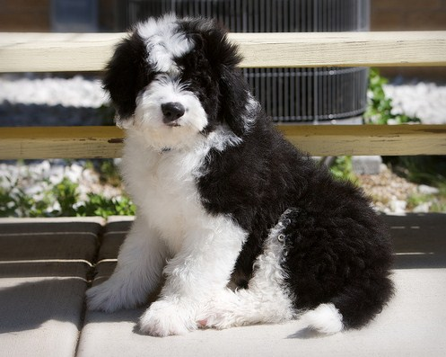 How Big Does a Sheepadoodle Get 1