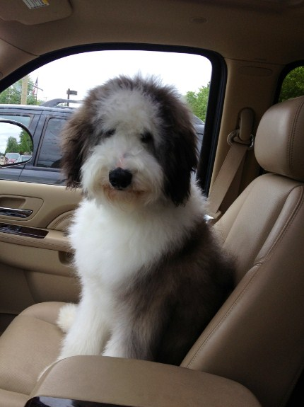 How Big Does a Sheepadoodle Get 2