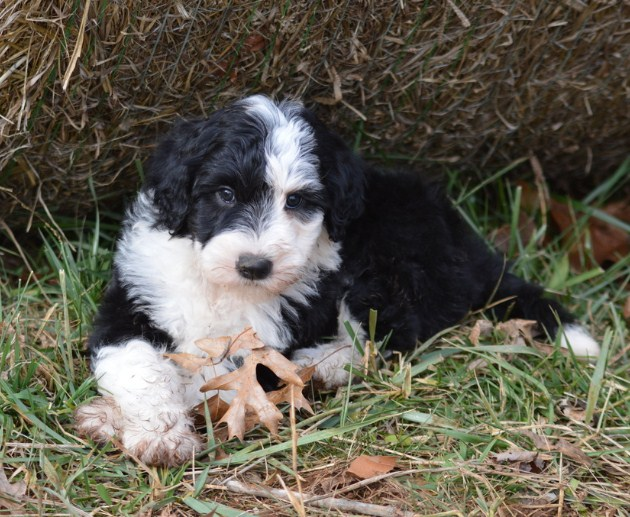 Sheepadoodle Puppies for Sale in Arkansas 1