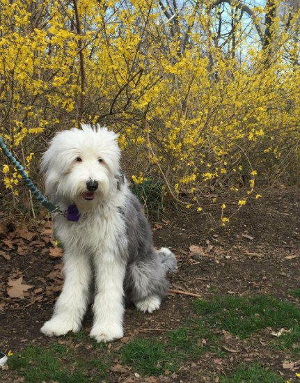 Sheepadoodle Puppies for Sale in Arkansas 2