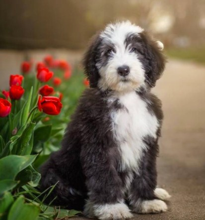 Sheepadoodle Puppies for Sale in Texas 2
