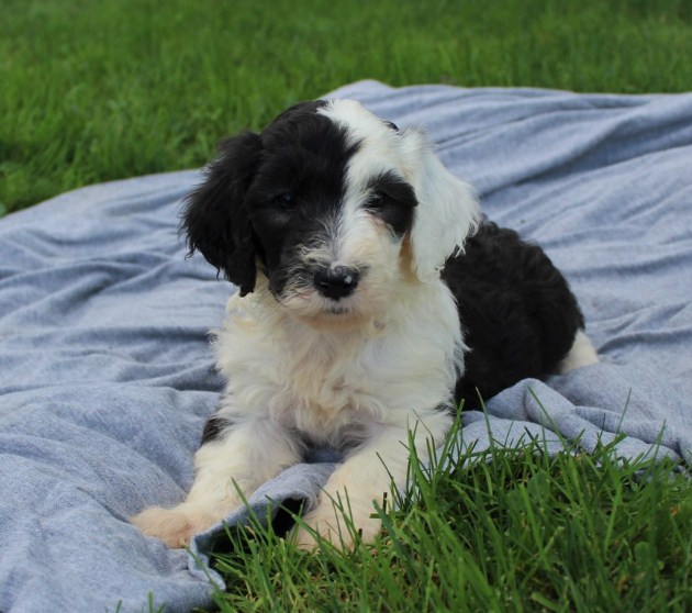 Sheepadoodle Reviews 1
