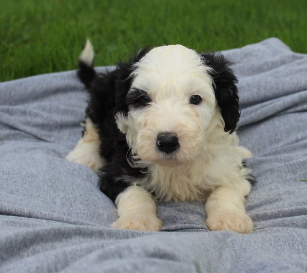 Sheepadoodle Reviews 2