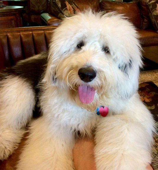 Sheepadoodle Washington 1