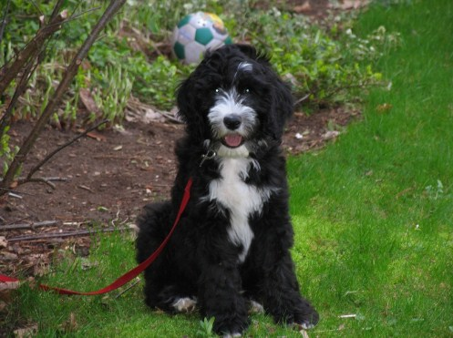 Sheepadoodle Washington 2